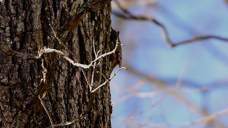 Brown Creeper - Slow Motion.mp4