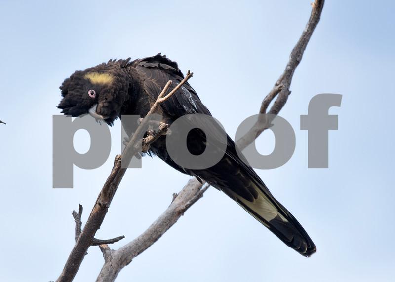 Black coockie 1.jpg