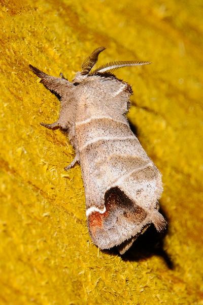 Prominent - Sigmoid - (Clostera albosigma) - Dunning Lake - Itasca County, MN