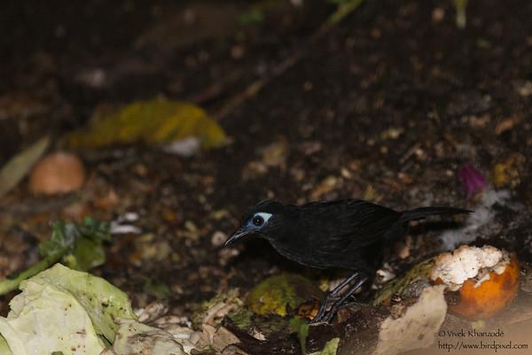 Immaculate Antbird
