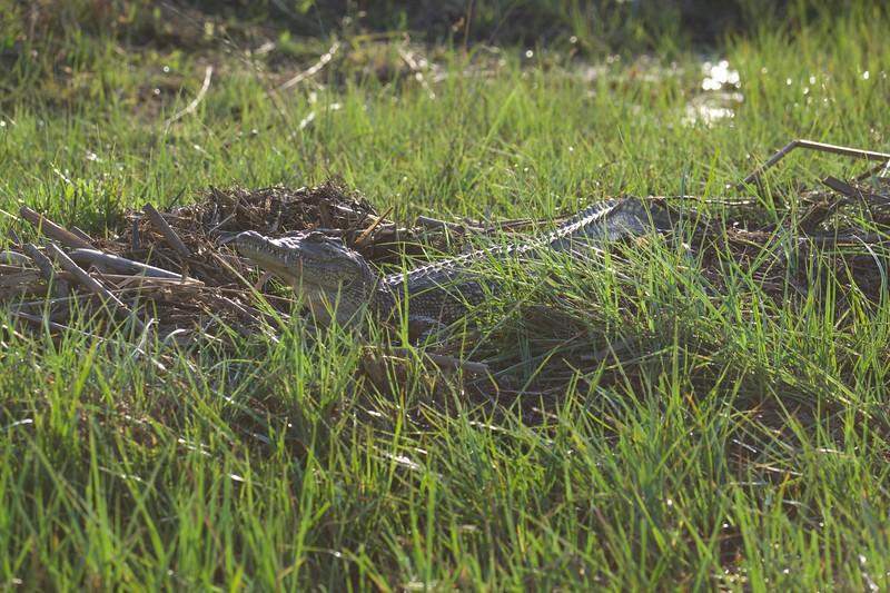 crocodile, Shinde camp, Botswana