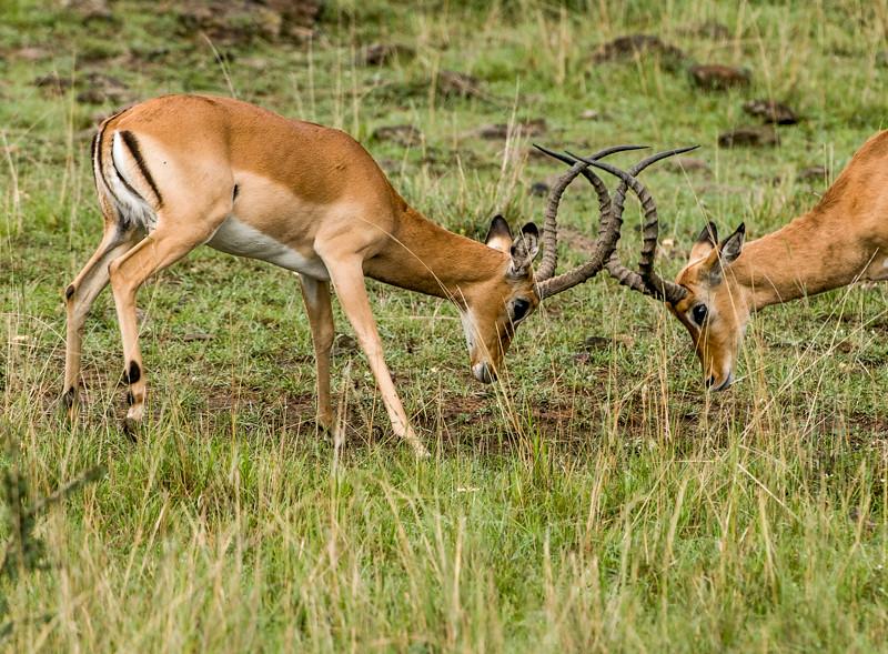 Gazelles-4.jpg