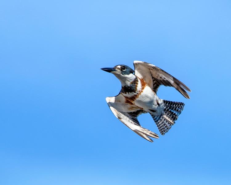 Supersonic Kingfisher_DSC_4436.jpg