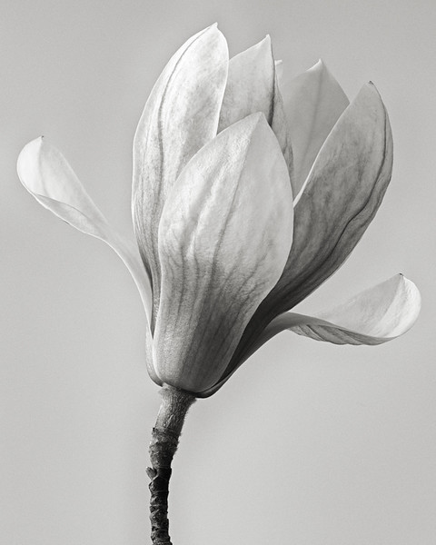 magnolia02.jpg