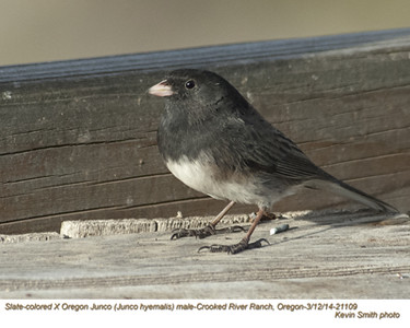 OregonXSlate-coloredJuncoM21109.jpg