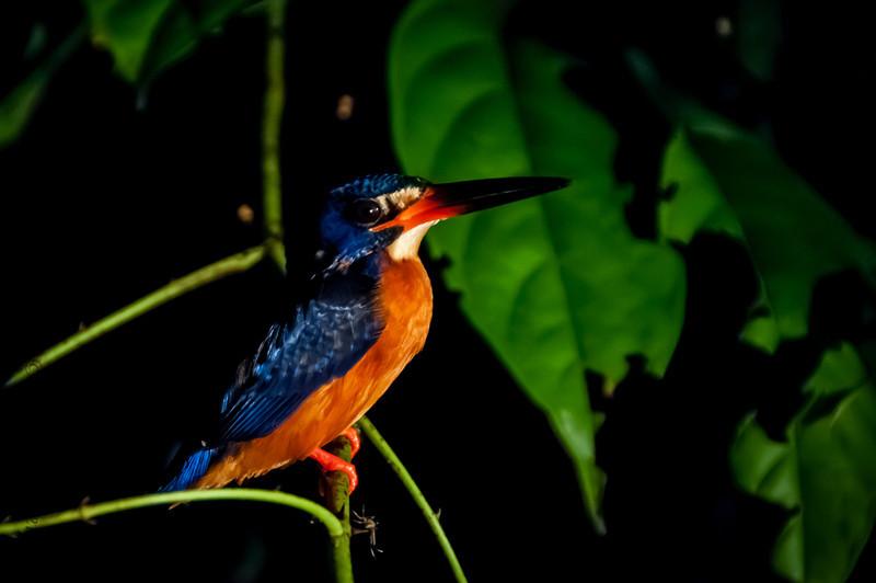 BIRDS - a blue earred kingfisher -0584.jpg