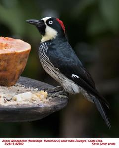 Acorn Woodpecker M82800.jpg