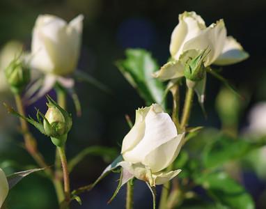 Onozaka Rose Garden 2015
