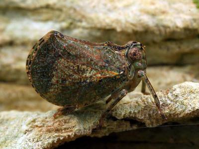 Nogodinidae