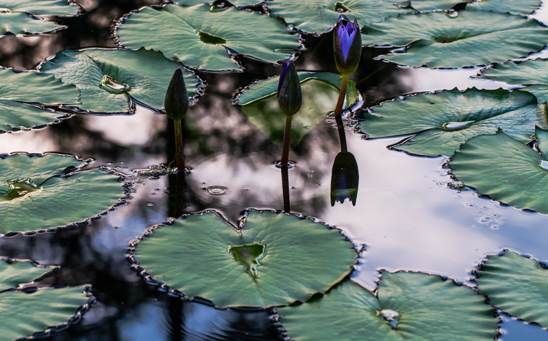 Lily  Pond 9
