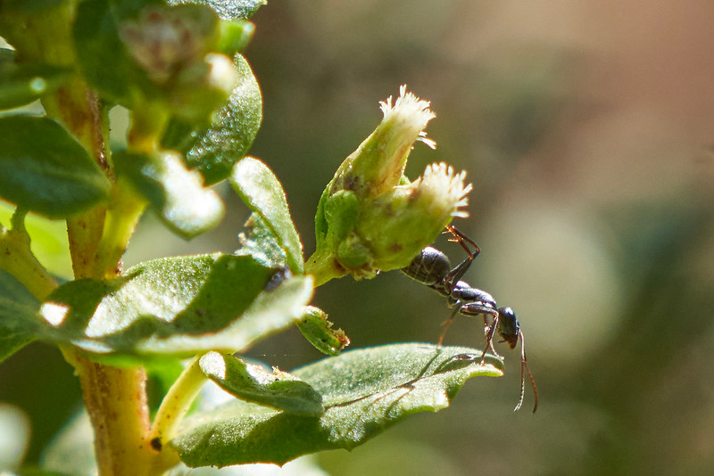 Ant on Coyote Brush