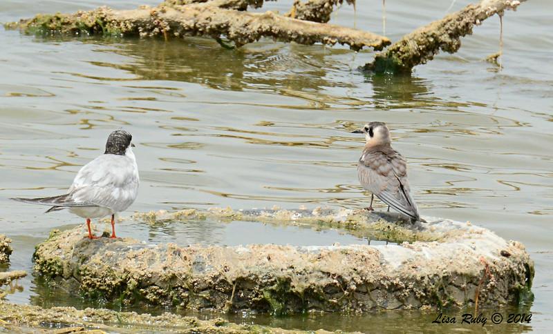 Forster's Tern and immature Black Tern - 7/27/2014 - Salton Sea