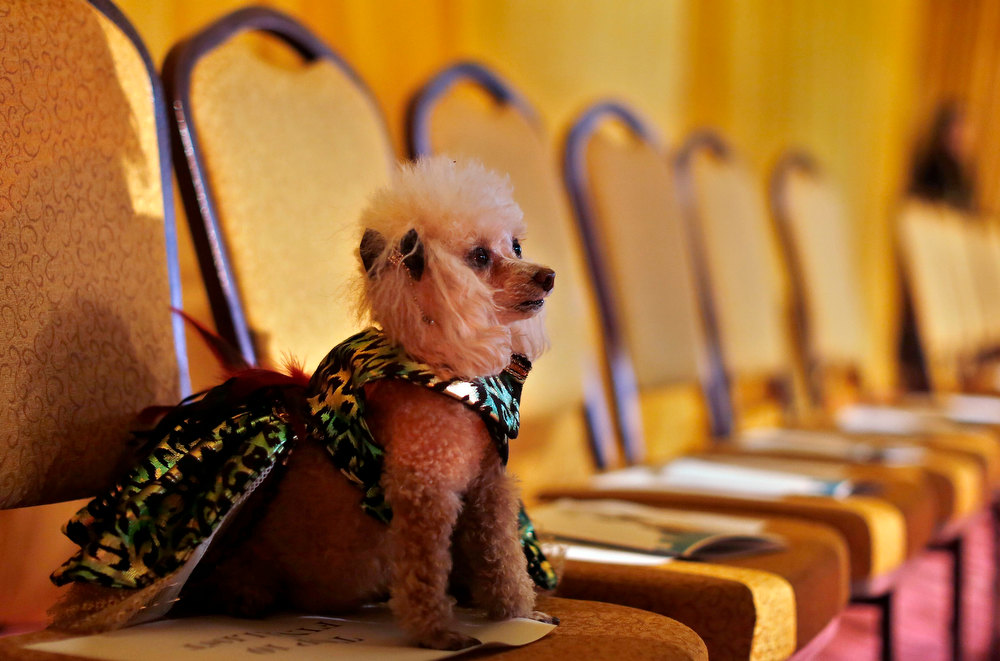 Description of . Boo, a Toy Poodle breed, sits on a chair before the start of the New Yorkie Runway Doggie Fashion Show in New York February 7, 2013. REUTERS/Shannon Stapleton