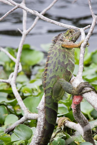 Green Iguana Lake Worth FL 2020-3.jpg