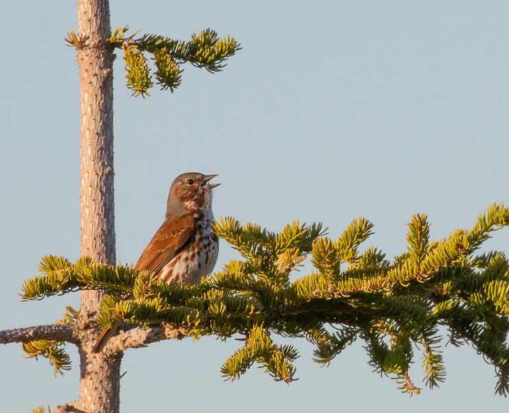 Fox Sparrow Goose Creek Road Churchill Manitoba Canada IMG_0118.jpg