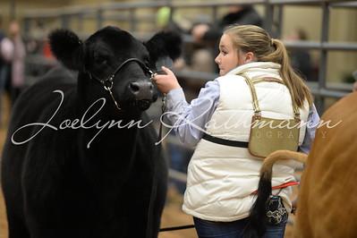 Heifer Showmanship