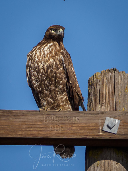 Young Dark Morph Red-tailed Hawk