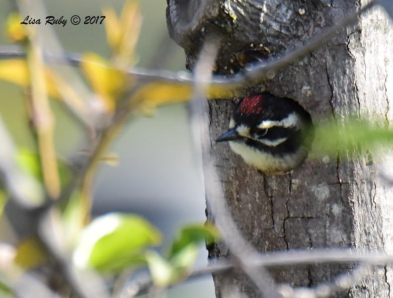 Nuttall's Woodpecker, Juvenile - 5/20/2017 - Sabre Springs