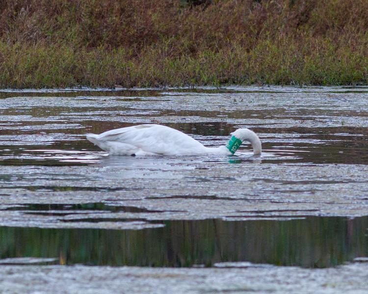 20161104-BoxleyValley-Swan-7.jpg