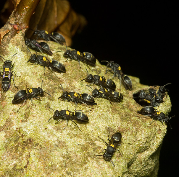 A nest of Polybia wasps from Panama.