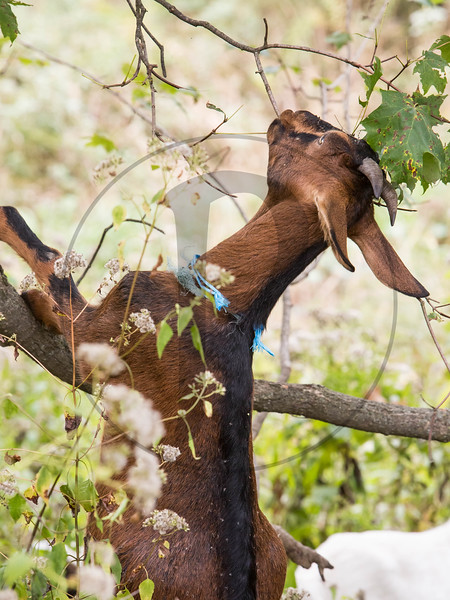Goats-61.jpg