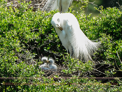 Mama Great Egret and Fuzzy-headed Nestlings, Smith Oaks Rookery, High Island, TX