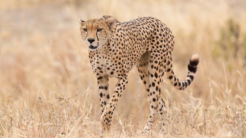 Cheetah in grass, Tarangire National Park