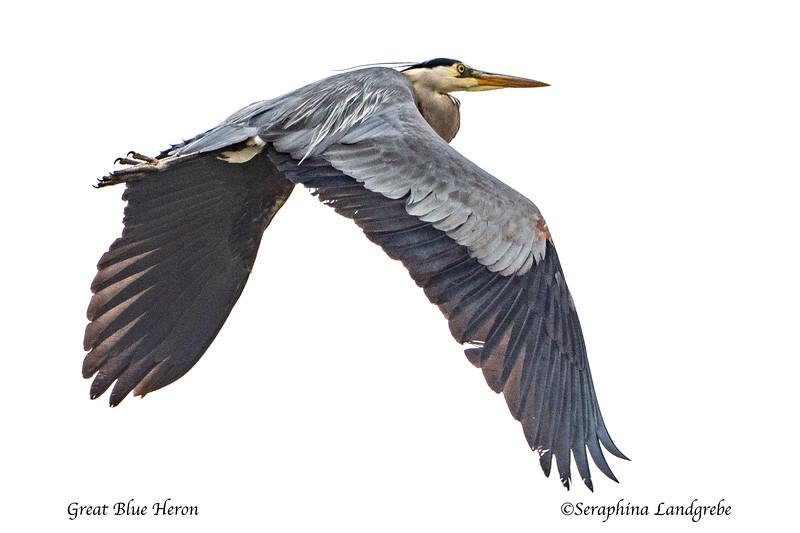 _DSC6873Great Blue Heron flight.jpg