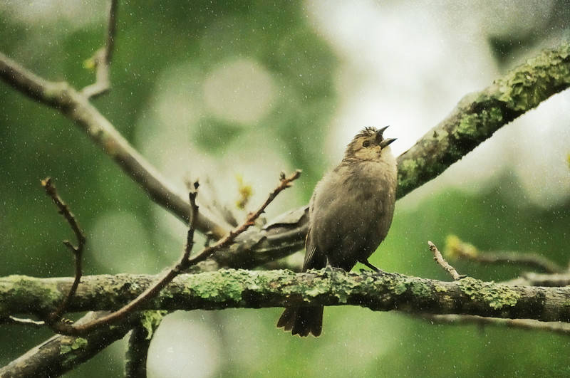 Cowbird singing in the rain.