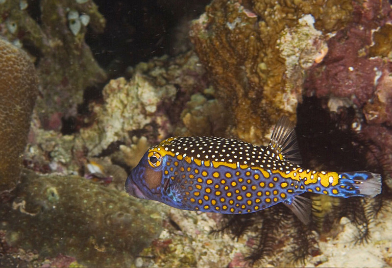 fish boxfish male1.jpg