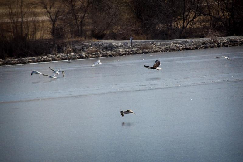 Eagle Soaring lake-7126.jpg