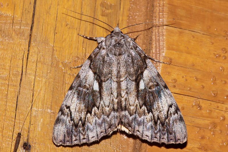 Underwing - Yellow-banded - (Catocala cerogama) - Dunning Lake - Itasca County, MN