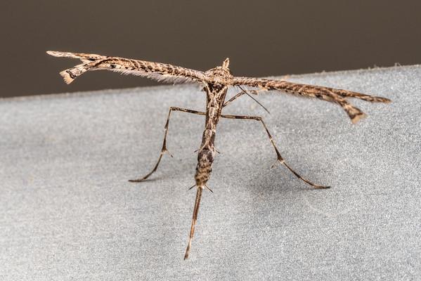 Plume moths (Pterophoridae)