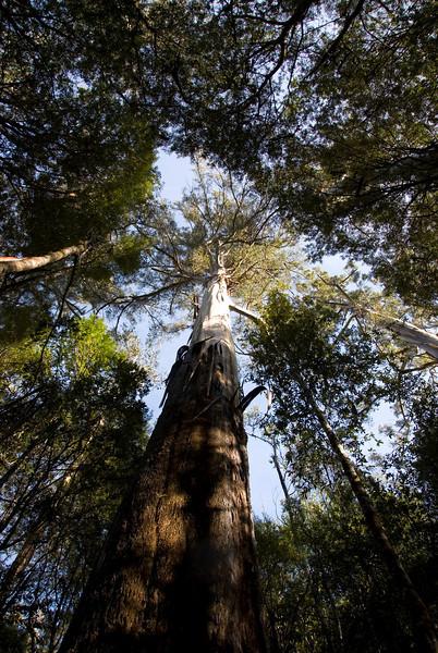 Eucalyptus Regnans 7, Mount Field National Park - Tasmania, Australia