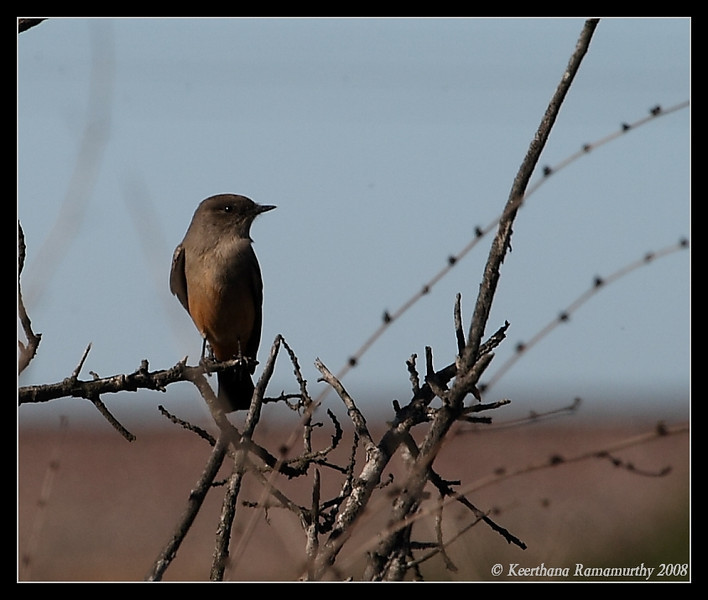 Say's Phoebe, San Elijo Lagoon, Rios Ave, San Diego County, California, December 2008