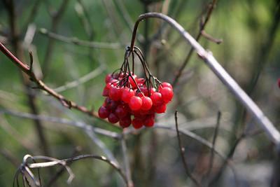 Arbustes à baies