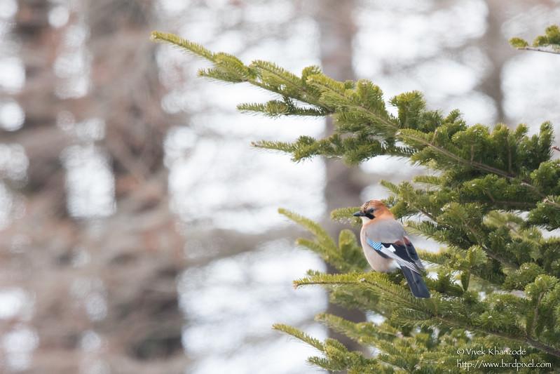 Eurasian Jay - Record - Hokkaido, Japan