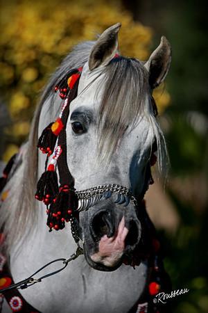 Center Ring Show Horses