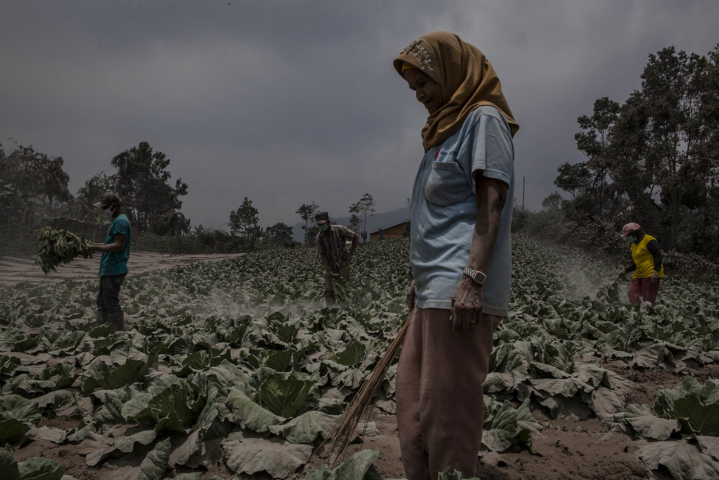 . Villagers clean their cabbage fields after their village is hit by ash from the eruption of Mount Sinabung on October 13, 2014 in Berastagi, Karo district, North Sumatra, Indonesia. Mount Sinabung, which had lain dormant for over 400 years, has been intermittently erupting since September 15 last year, killing 15 people and forcing hundreds to flee their homes. According to The National Disaster Mitigation Agency, more than 3,000 residents are still displaced. (Photo by Ulet Ifansasti/Getty Images)