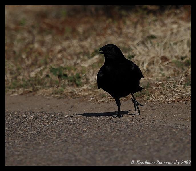 American Crow, Robb Field, San Diego River, San Diego County, California, April 2009