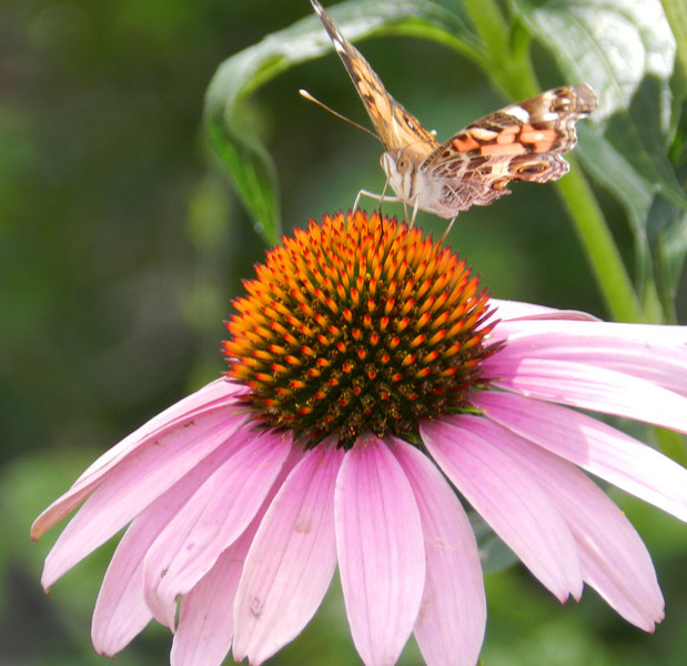 Painted Lady on Purple Coneflower front view.jpg