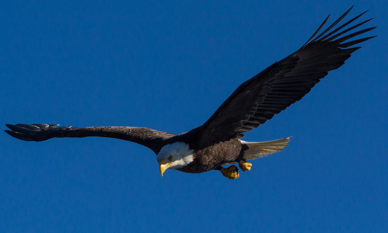 This Eagle just selected a fish and is starting his diving run.
