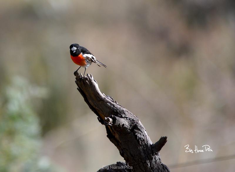 red robin bhp.jpg