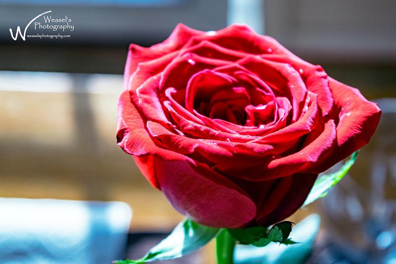 Roses - 2016
