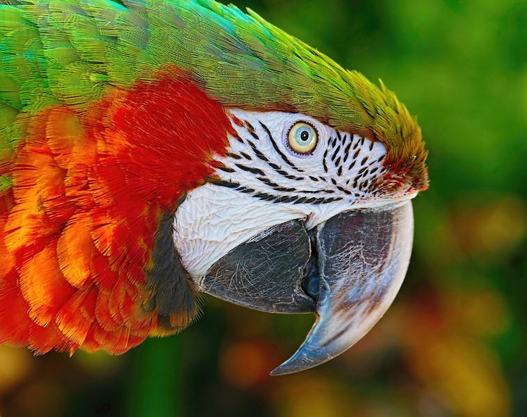 Bob Walling-Macaw.jpg