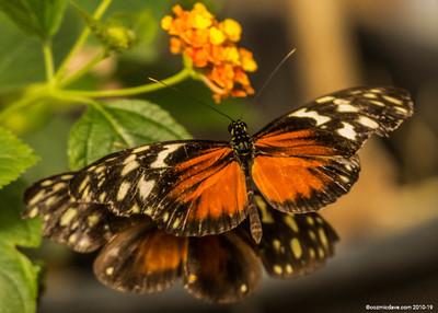 Butterflies in Flight 2018 - Set 1