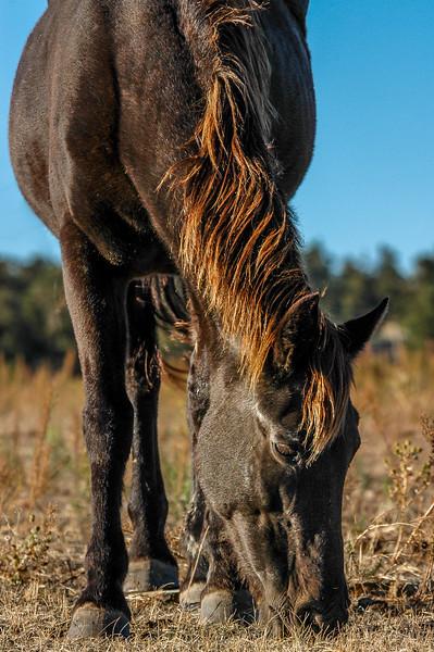 Wild Horse Grazing BHWS