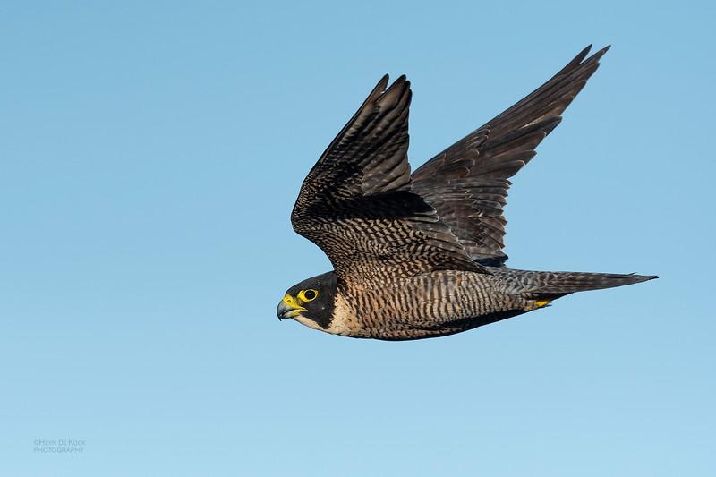 Peregrine Falcon, Dee Why, Sydney, NSW, Oct 2018-2.jpg