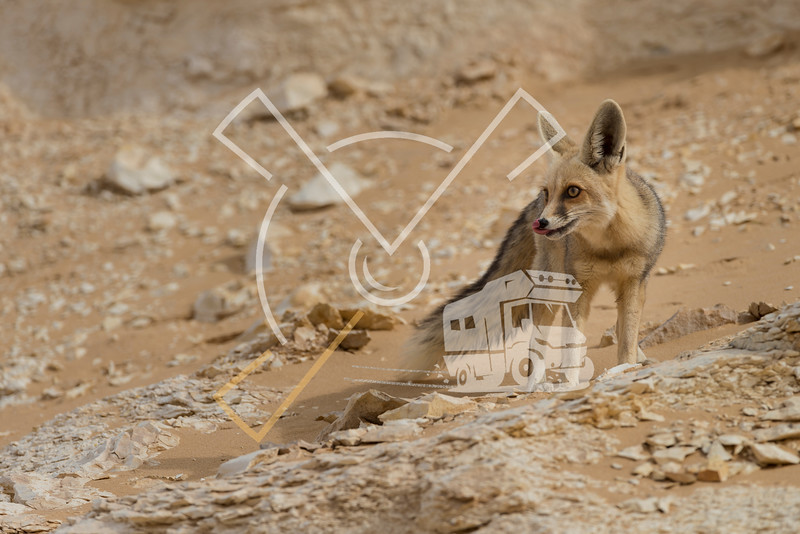 The rüppell's fox, Vulpes rueppellii, in the Egyptian White Desert National Park
