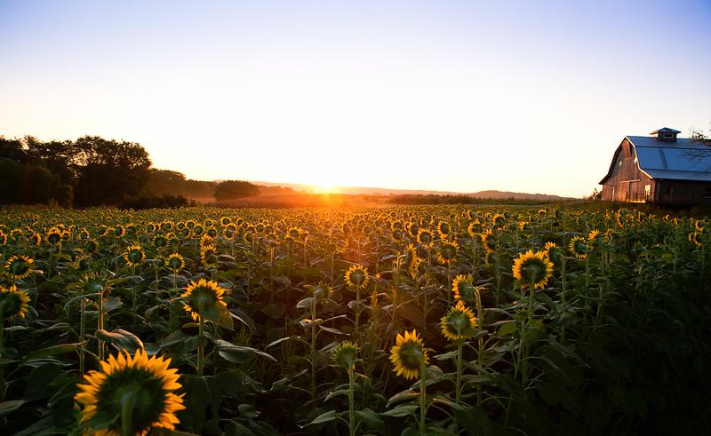 Sunflower Sunrise.jpg